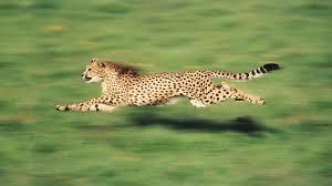 10 Hewan Tercepat Di Dunia Dan Kelebihannya